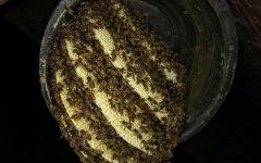 如何识别工蜂产卵(工蜂产卵怎么处理)