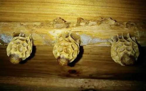 王台基里面的幼虫是工蜂喂食吗(工蜂产的王台有用吗)