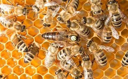 夏季意蜂怎样育王(蜜蜂的自然育王好不好)
