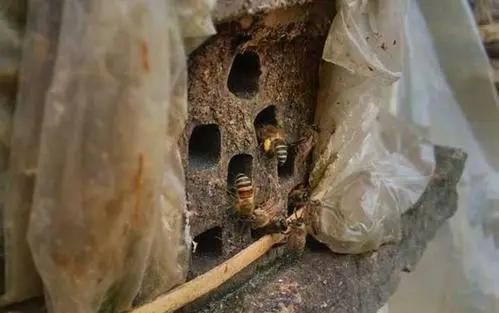 蜂不产蜜只产卵是什么意思