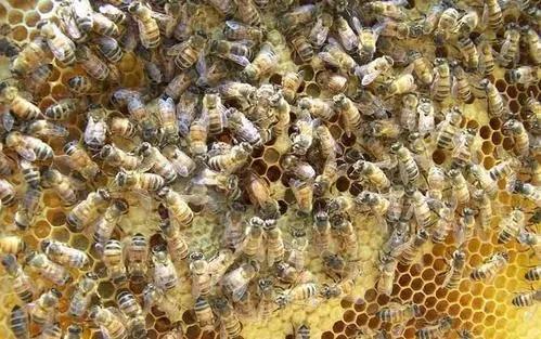 蜜蜂死得太多怎么回事(蜜蜂突然死了很多怎么回事)