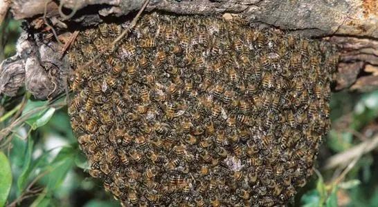 平原诱蜂得多长时间(平原地区怎么诱蜂)