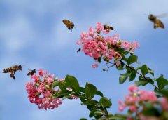 蜜蜂的活动范围有多大(蜜蜂喜欢在什么地方活动)