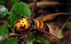 中国毒蜂种类图片(中国毒蜂排名及图片大全)