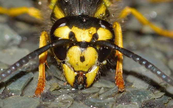 牛角蜂和马蜂的区别(如何去辨别牛角蜂和马蜂)
