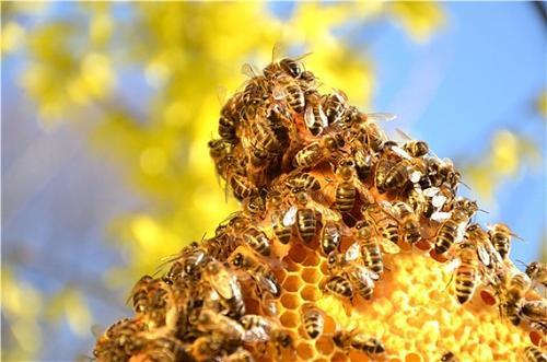 蜜蜂采蜜回巢是直线飞行吗(蜜蜂是不是装满蜜就直线回巢?)