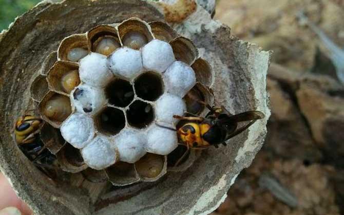 蜜蜂有毒的是哪些(强毒性的几类蜜蜂)