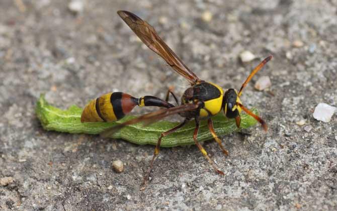 细腰蜂长什么样子(腰很细的蜜蜂是什么蜂)