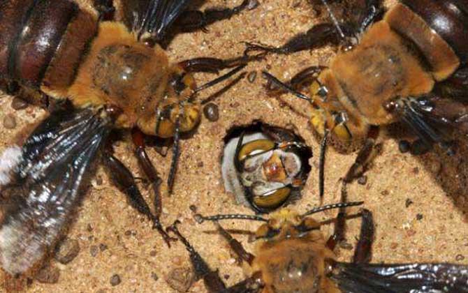 最毒的蜜蜂是哪种(世界上排名前十名的最毒的蜂)