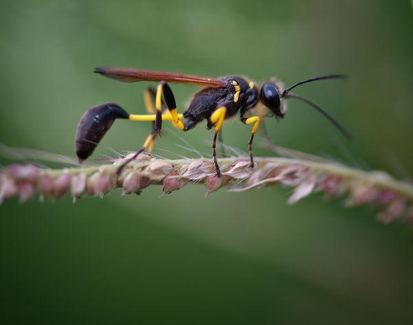 黑色细腰蜂有毒吗(身体黑色的蜜蜂是什么蜂有没有毒)