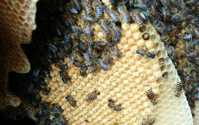 蜜蜂的窝是怎么建起来的(蜜蜂喜欢把窝建在哪里)