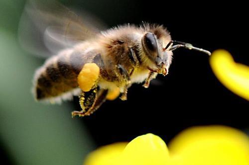 雄蜂试飞说明什么