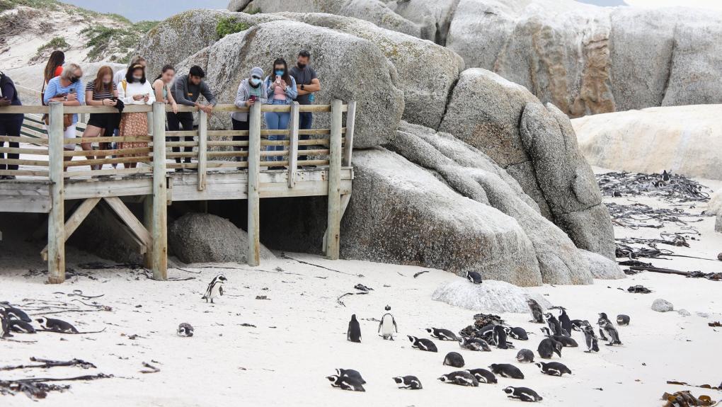南非63只企鹅被蜜蜂蛰死,企鹅不是只在南极吗?非洲也有?