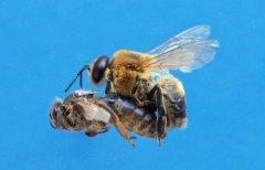雄蜂试飞说明什么(雄蜂试飞后多久分蜂)