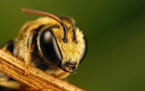 蜜蜂有几只触角(蜜蜂的触角是什么类型)