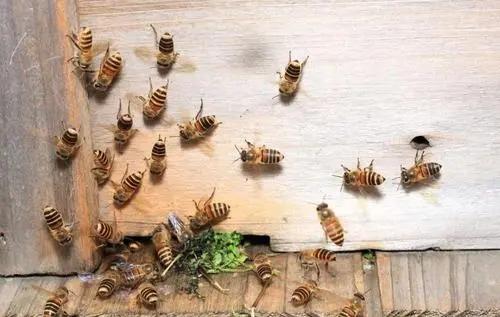 把盗蜂关闭两天能合群吗