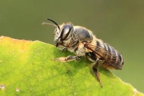 切叶蜂的特点(切叶蜂和蜜蜂的区别)