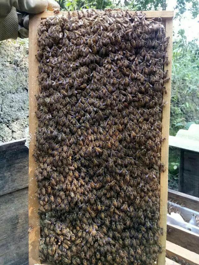 一张脾可放多少蜜蜂(蜜蜂要多少天造一张脾)