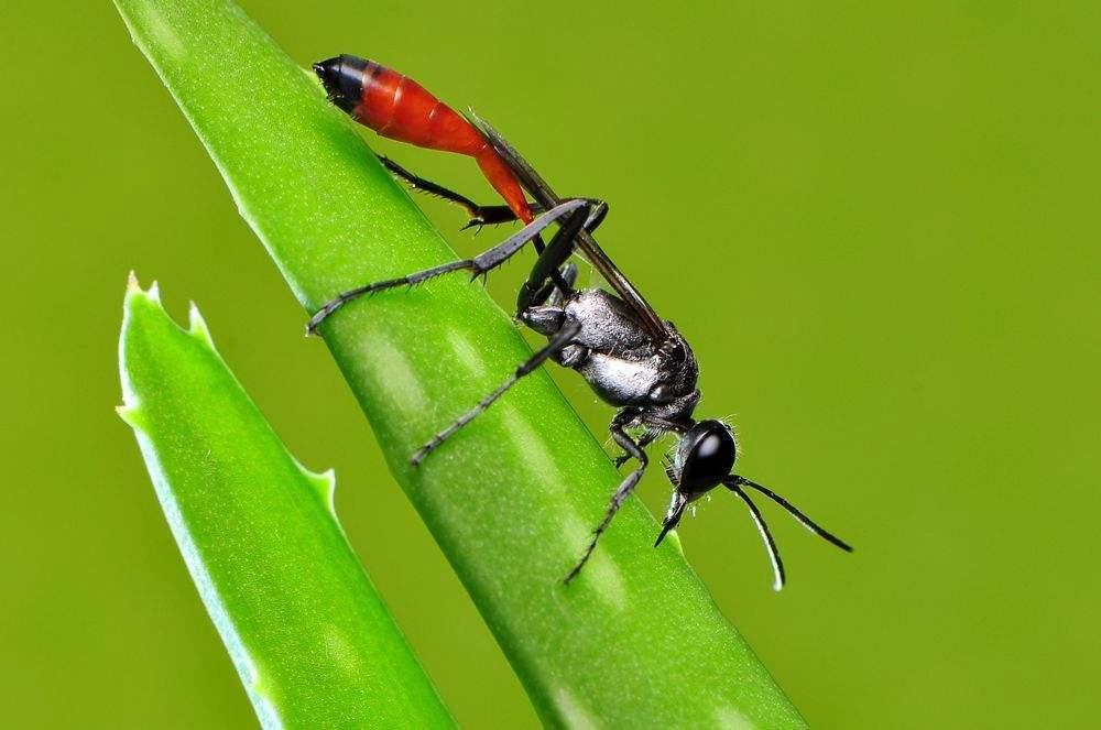 角戎泥蜂(泥蜂是什么)