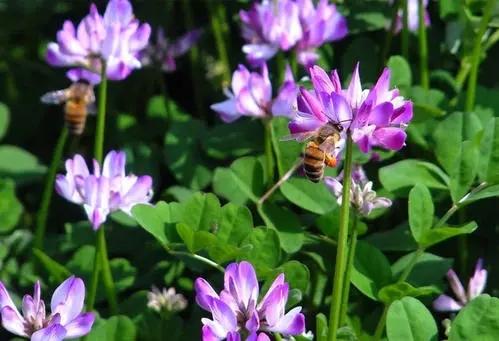 紫云英蜂蜜适合什么人(适合紫云英蜂蜜的几大人群)