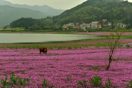 紫云英每亩用多少种子(紫云英种子价格)