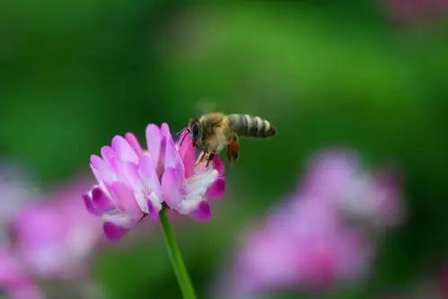 紫云英蜂蜜的作用与功效(紫云英蜂蜜对人身体的好处有哪些?)