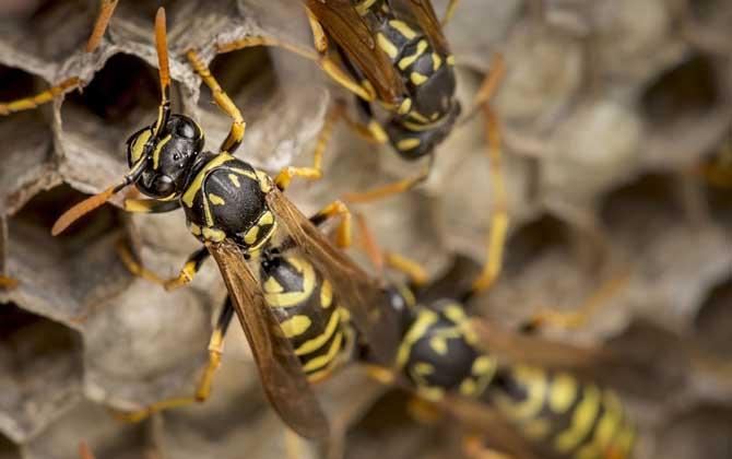 牛角蜂和中国大虎头蜂的区别(牛角蜂和大虎头蜂的对比)