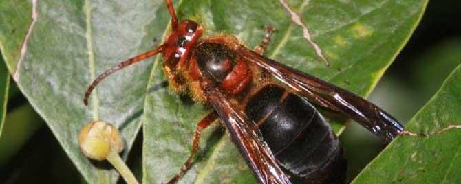 中国大虎头蜂一般筑巢在哪里(大虎头蜂怎么挑选地方筑巢)