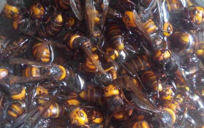 中国大虎头蜂可以泡酒喝吗(虎头蜂酒的功效)