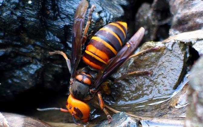 中国大虎头蜂雄蜂和雌蜂的区别(中国大虎头蜂怎么分公母)