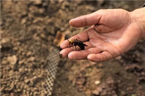虎头蜂最怕什么(什么能伤害虎头蜂)
