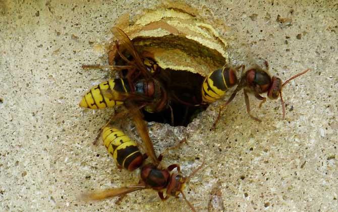 中国大虎头蜂是益虫吗(虎头蜂是益虫还是害虫?)