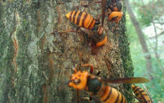 黑尾虎头蜂多少钱一只(黑尾虎头蜂市场价)