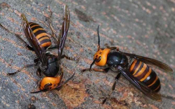 中国大虎头蜂多少钱一只(中国大虎头蜂有哪些习性?)