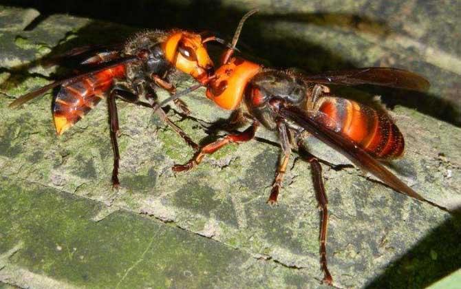中国大虎头蜂毒性(中国大虎头蜂的毒性强吗?)