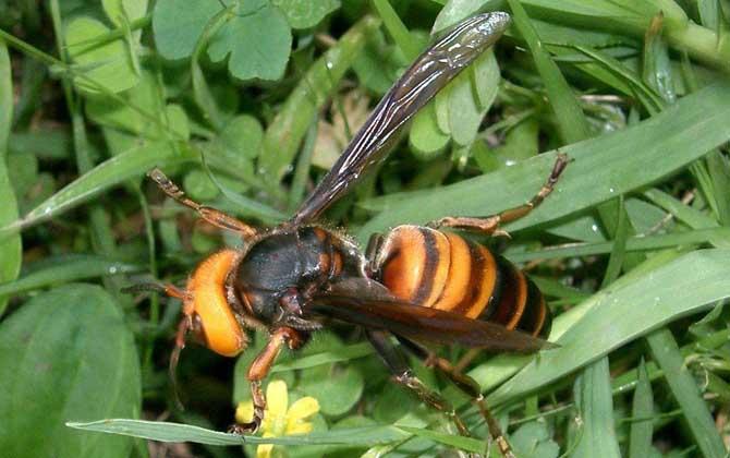 日本大黄蜂和中国大虎头蜂谁最强(虎头蜂vs日本大黄蜂谁厉害?)