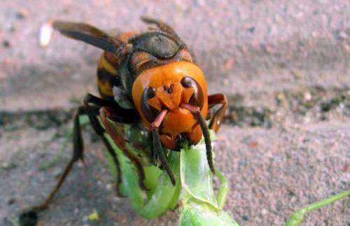 中国大虎头蜂和日本大黄蜂的区别(中国大虎头蜂和日本大黄蜂的对比)