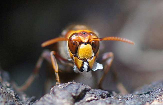 虎头蜂和蜜蜂谁厉害(虎头蜂有多狠?)