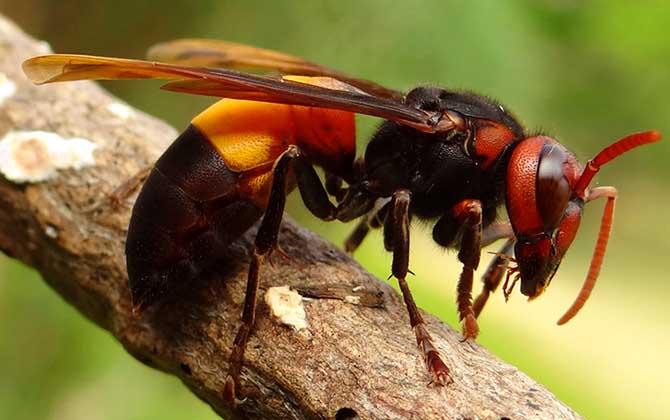 虎头蜂的天敌是什么动物(什么动物吃中国大虎头蜂)