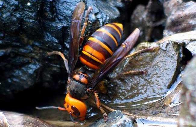 中国大虎头蜂的生活环境(胡蜂的生活环境)