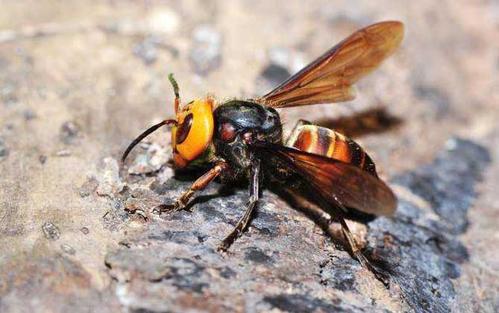 中国大虎头蜂的养殖技术(怎么养殖虎头蜂)