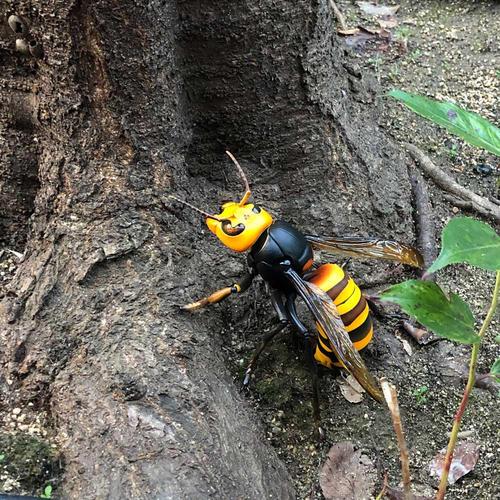 中国大虎头蜂的并群方法(如何合并蜂群)