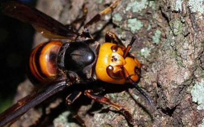 中国大虎头蜂