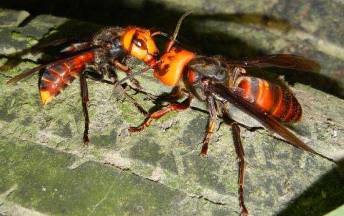 中国大虎头蜂跟大金环胡蜂是一种吗(中国大虎头蜂跟大金环胡蜂有区别么?)