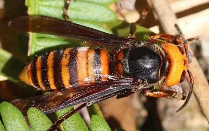 怎样防止中国大虎头蜂吃蜜蜂(虎头蜂吃蜂蜜怎么解决)