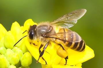 中国大虎头蜂的生活习性(虎头蜂的栖息环境)