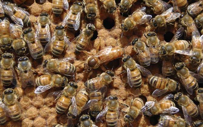 中国大虎头蜂蜂王价格(中国大虎头蜂蜂王多少钱)