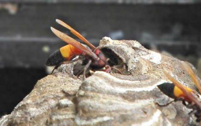 亚洲大黄蜂是虎头蜂吗(被黄腰虎头蜂蛰了怎么办)