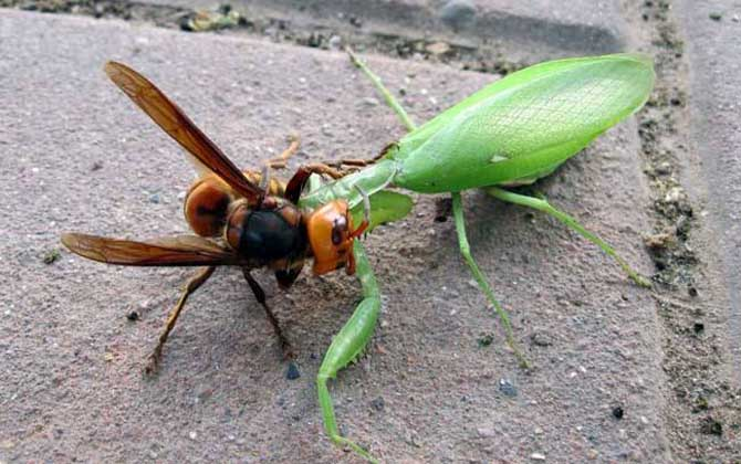 中国大虎头蜂的天敌有哪些(大虎头蜂的种类)