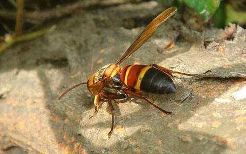 中国大虎头蜂的蜂窝有什么用(大虎头蜂蜂窝的药用价值)
